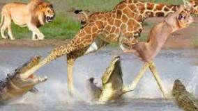 حمله شیر و کروکودیل برای شکار: تلاش زرافه بی رمق برای بقاء