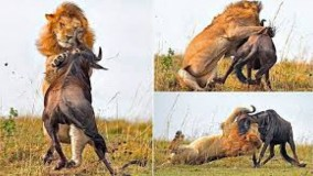 مقابله شکار و شکارچی ؛حمله بوفالو به شیر