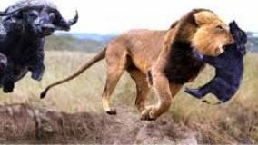 حیات وحش ، حمله شیر برای شکار و مقاومت دیدنی مادر بوفالو و فیل