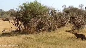 حیات وحش،  شکار برای بقاء ؛ حمله عقاب برای شکار گراز