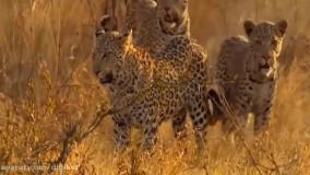 حیات وحش ، حمله و فرار شیر در مقابل بوفالو و فیل