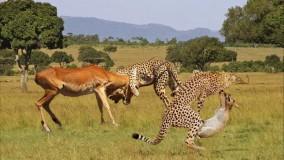 حمله یوزپلنگ ها برای شکار غزال