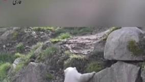 گردش «کارا» توله خرس قطبی