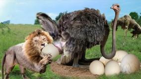 حمله شیر برای شکار ؛ شترمرغ در مقابل شیر