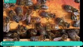آشنایی با انواع غده در بدن زنبور عسل ( زبان فارسی )