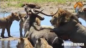 دیدنی ترین حمله های شیر برای شکار