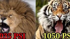 مستند مقایسه شیر بربری و ببر بنگال شمالی کدوم بزرگتر قوی تر و سنگین تره