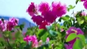 زمان و فصل گلاب گیری کاشان