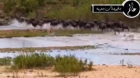 مستند حیات وحش - نبرد بین بوفالو و شیر ماده - راز بقا
