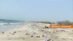 مرگ گربه ماهیان در ساحل جاسک