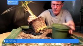 پرورش گل و گیاه - بونسای کردن گیاه اژدها