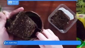 پرورش گل و گیاه -تعویض گلدان گیاه پالور پالم