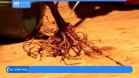 پرورش گل و گیاه - پرورش بونسای گل کاغذی