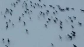 مهاجرت جالب آهوها در قطب شمال