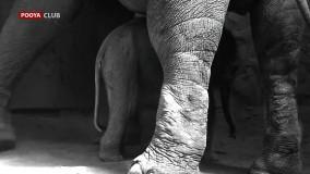 فیلمی از شیر خوردن اولین نوزاد فیل آسیایی در باغ وحش ارم