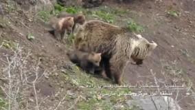 تصاویر دیدنی از زندگی خرس مادر با سه تولهاش
