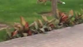 گردش یک روباه در حیاط بانک مرکزی