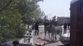 نحوه استقبال از ۳ گورخر آفریقایی در بدو ورود به ایران