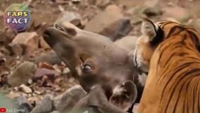 قویترین شکارچیان حیات وحش