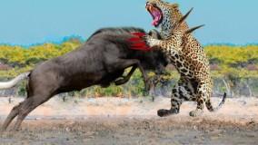 حیات وحش - دیوانه وارترین حملات حیوانات وحشی - راز بقا