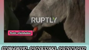 گرانترین شیر/۰۹۱۲۰۷۵۰۹۳۲/شیر خر/فواید شیر الاغ