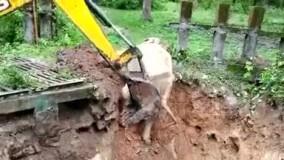 تشکر جالب فیل از بیل مکانیکی که جانش را نجات داد