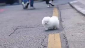 فروش سگ جیبی سفید پشمالو ارزان پامرانین خرسی ارزان شیتزو مالتیز
