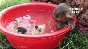 شنا کردن میمون کوچولو و جوجه اردکها