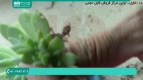 فیلم پرورش گل و گیاه / قلمه زدن بونسازی جنسینگ
