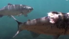 ماهیها هم از موج گرما در امان نماندند