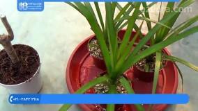 فیلم پرورش گل و گیاه | کاشت گل | گیاهان زینتی (قلمه زدن دراسنا پرچمی)