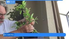 پرورش گل و گیاه در خانه|فیلم پرورش گل و گیاه|پرورش گل(تکثر فیکوس آلاستیکا )