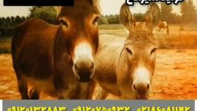 عالی ترین شیر/۰۹۱۲۰۷۵۰۹۳۲/شیر تازه الاغ/خرید شیر الاغ