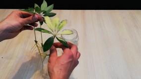 پرورش گیاه شفلرا با استفاده از برگ