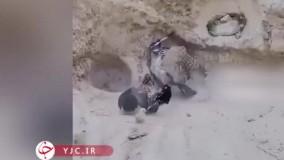 دفاع جانانه مرغ مادر از جوجههایش