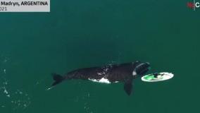 بازی نهنگ کنجکاو با یک قایق در سواحل آرژانتین